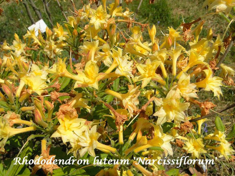 (29) Arboretum de Keracoual - Henvic  - Page 2 Rhodo_12
