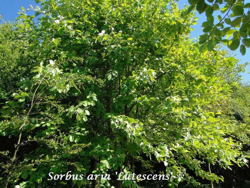 (29) Arboretum de Keracoual - Henvic  - Page 2 Sorbus10