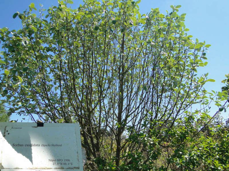 (29) Arboretum de Keracoual - Henvic  - Page 2 Sorbus12