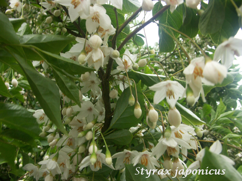 (29) Arboretum de Keracoual - Henvic  - Page 2 Styrax10
