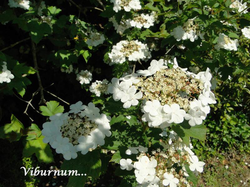 (29) Arboretum de Keracoual - Henvic  - Page 2 Viburn10