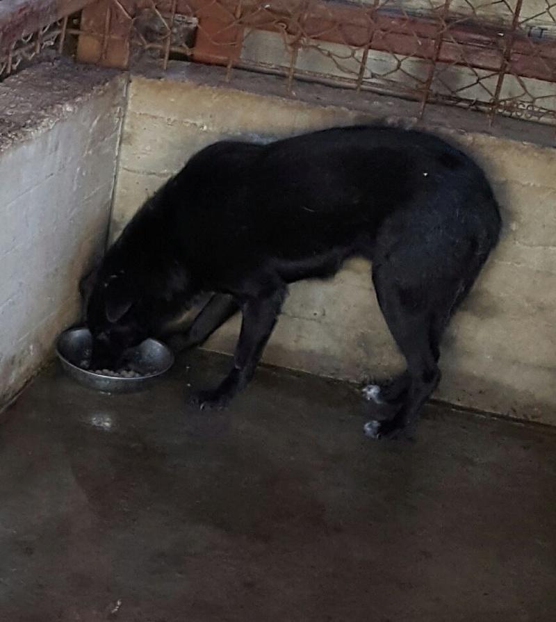 EBONY M-X 4 ans taille moyenne 15KG-FOURRIERE ORASTIE- Un chien noir timide-En pension à Timisoara - Page 2 15068310