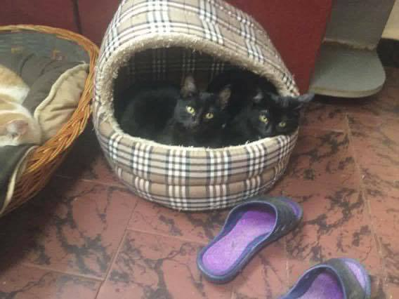 MUFASA chaton mâle 08/2016 (ORASTIE/RUE) - Réservé via autre asso- 15556112