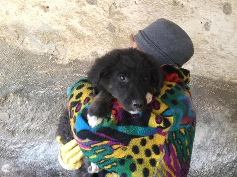 NINA, F-X berger roumain, née 11/2016 (RUE ORASTIE) Prise en charge Ferme des rescapés 16754111
