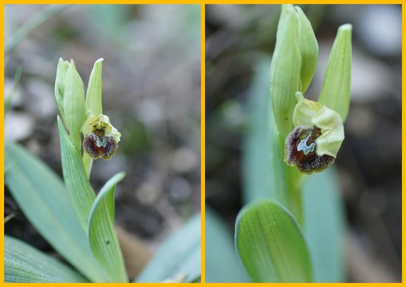 Tourris LA VALETTE DU VAR 1er ophrys massiliensis en fleur 01_20110