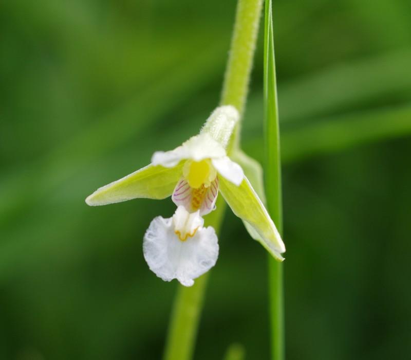 Epipactis palustris Imgp4220
