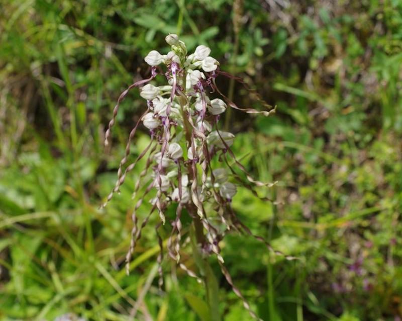 Himantoglossum hircinum Imgp4511