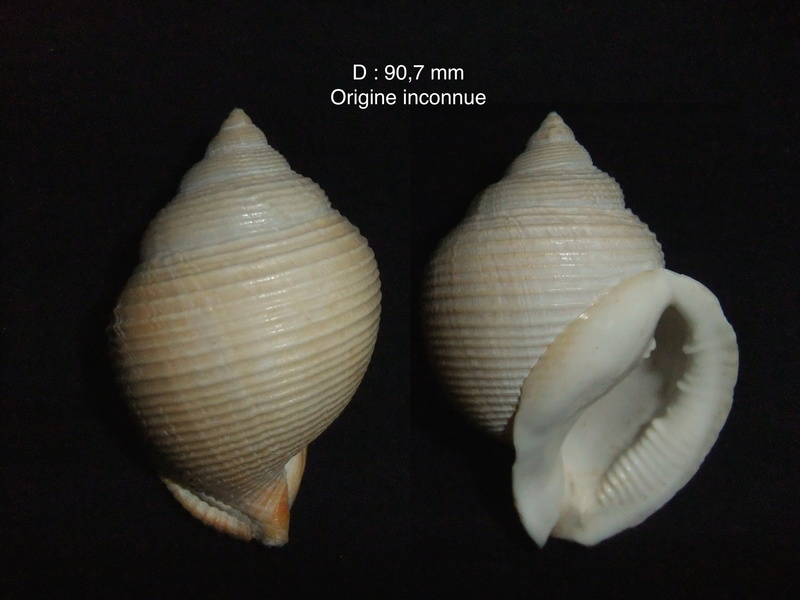 Galeodea rugosa - (Linnaeus, 1771) Argobu10