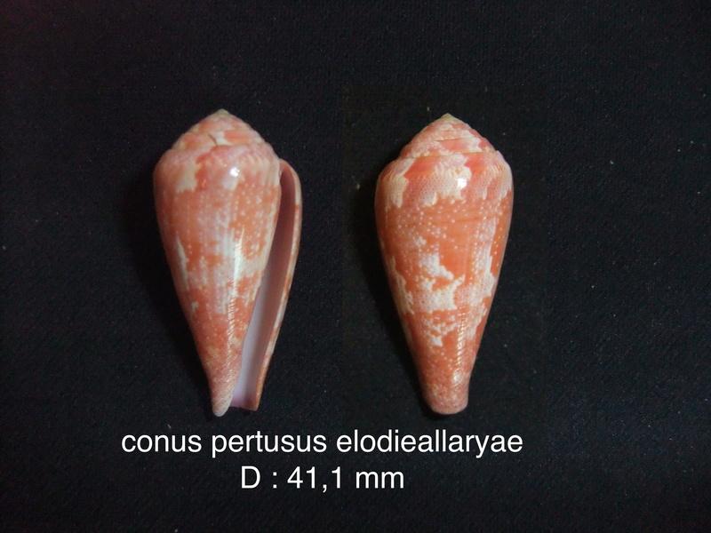 Conus (Rhizoconus) pertusus elodieallaryae  Cossignani, 2013 Conus_10