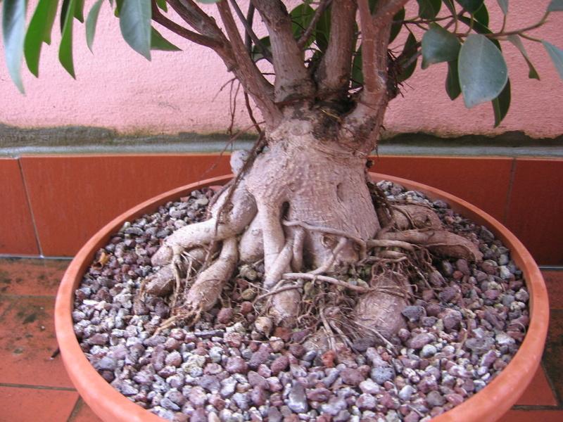 """Ficus Retusa """"Perronius"""" - Pagina 5 Img_0011"""