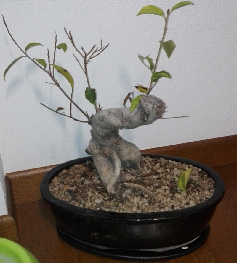 """Ficus Retusa """"Perronius"""" - Pagina 4 Perron10"""