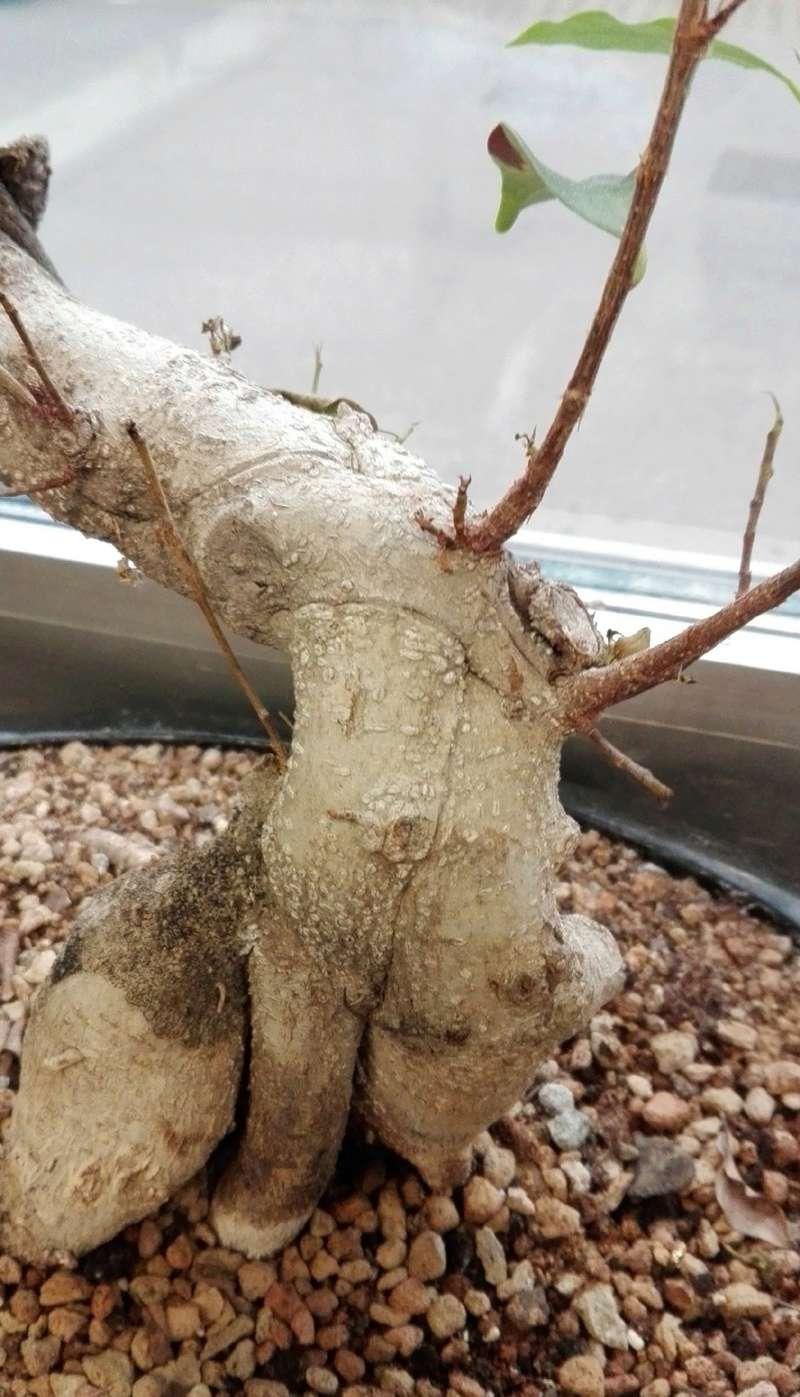 """Ficus Retusa """"Perronius"""" - Pagina 4 Perron12"""