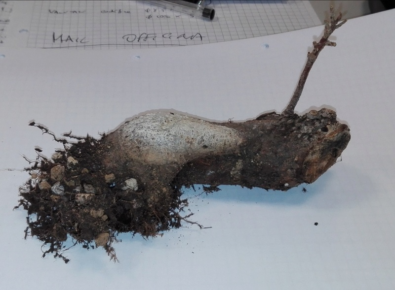 "Ficus Retusa ""Perronius"" - Pagina 4 Talea_10"