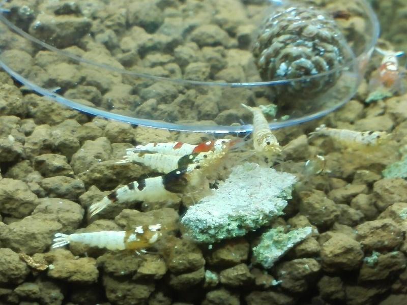 Mon premier bac à crevettes Img_2011