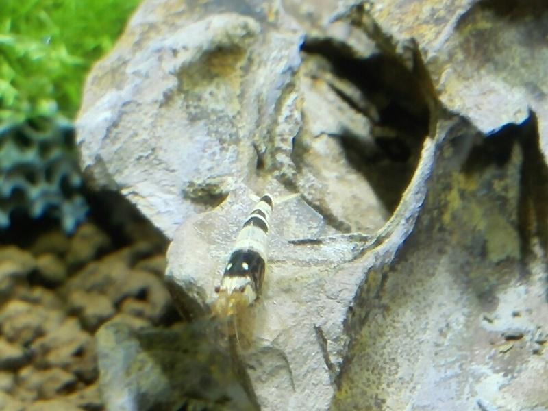 Mon premier bac à crevettes Img_2013