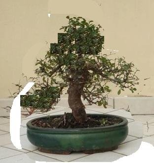 primo bonsai un inizio di una nuova passione (zelkova nire) Img-2010