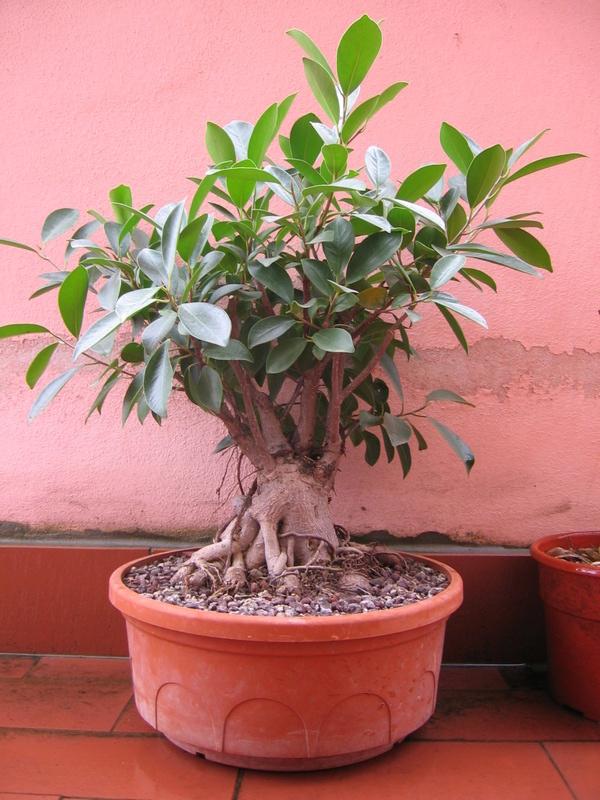 """Ficus Retusa """"Perronius"""" - Pagina 5 Img_0012"""
