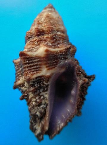 Morula spinosa - (H. Adams & A. Adams, 1853) Dscn8716