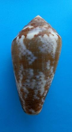 CATUS - Conus (Pionoconus) catus   Hwass in Bruguière, 1792 - Page 4 Dscn8720
