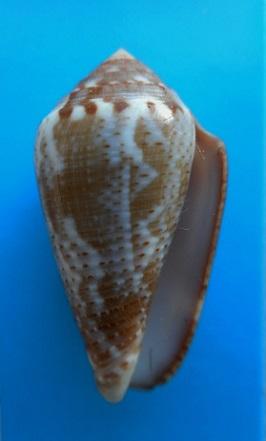 CATUS - Conus (Pionoconus) catus   Hwass in Bruguière, 1792 - Page 4 Dscn8721