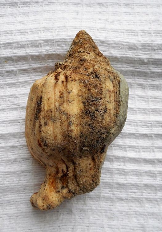 Turbinella angulata - (Lightfoot, 1786) Dscn9225