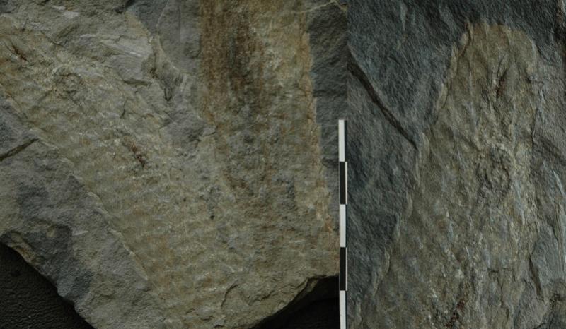 Flore Carbonifère des Alpes Françaises part 1 - Page 5 Bifurc11