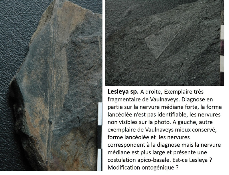 Flore Carbonifère des Alpes Françaises part 1 - Page 5 Lesley14