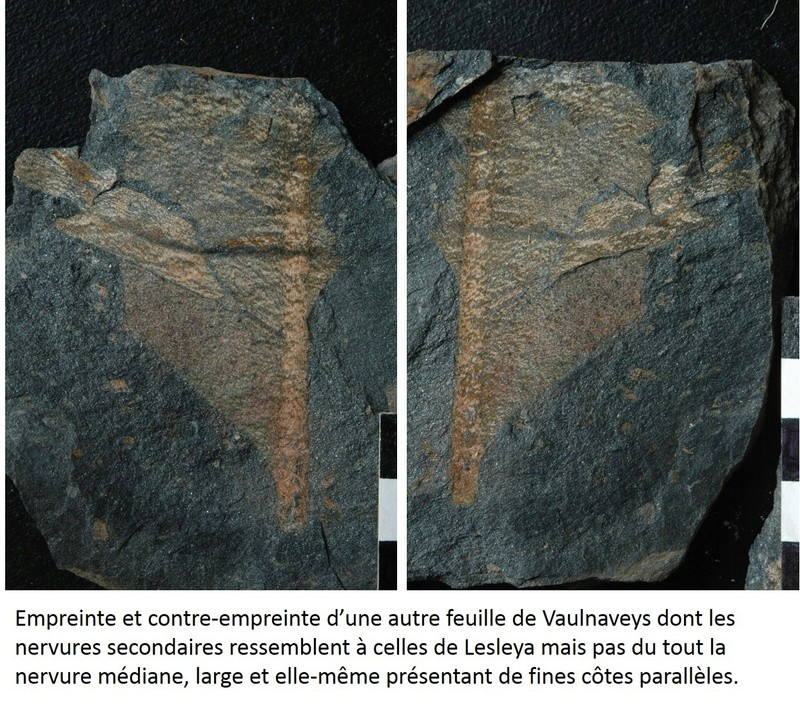 Flore Carbonifère des Alpes Françaises part 1 - Page 5 Lesley16