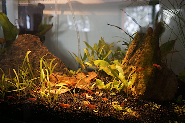 Mon 46L avec des crevettes blacks et Endler  - Page 2 Dsc05716