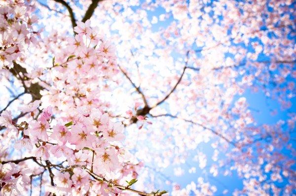 Propriétés et toxicité de la fleur de Sakura 32512510