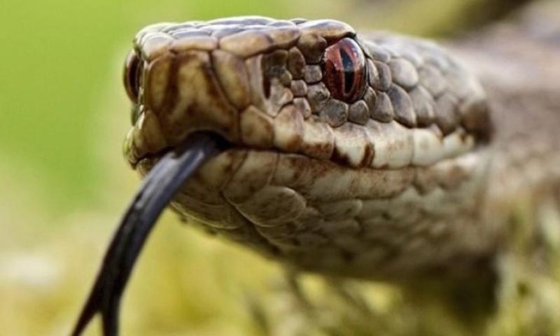 Le venin de ce serpent pourrait devenir un puissant anti douleur  Sans_t33