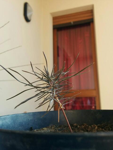 è nato un pino - È nato un pino!!! - Pagina 3 Rps20123