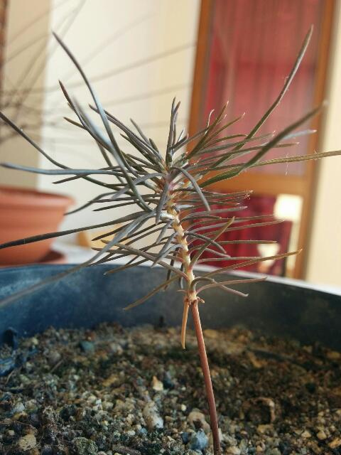 è nato un pino - È nato un pino!!! - Pagina 3 Rps20125