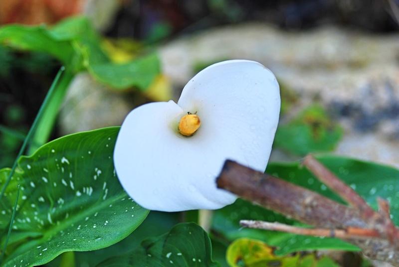 La fioritura di dicembre  Calla_10