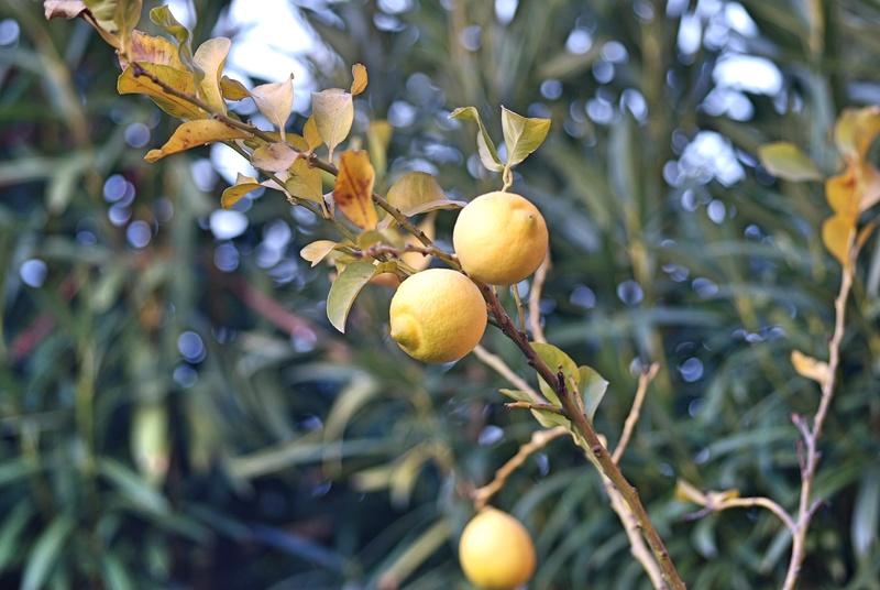 La fioritura di dicembre  Limoni10