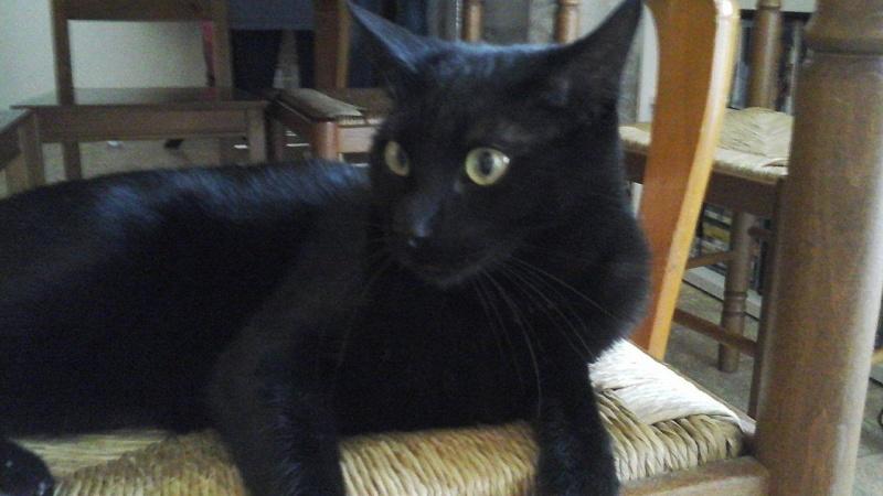 Perdu Mojito chat noir à Plaisance du Touch Mojito10
