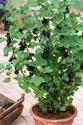 Minceur - Ribes Negrum Cassis11