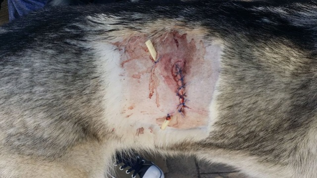 My Husky was bitten and I have a question. 14805610