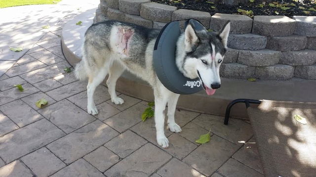 My Husky was bitten and I have a question. Unname13
