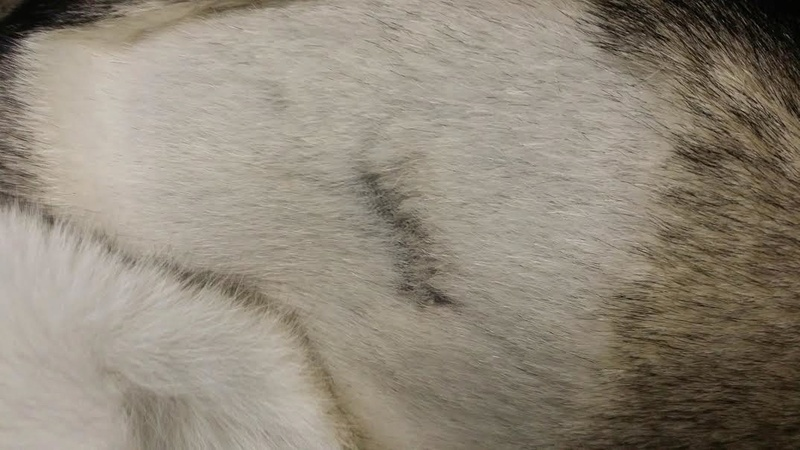 My Husky was bitten and I have a question. Unname15