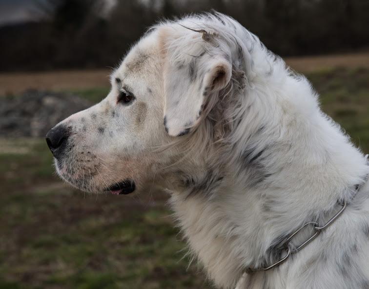 MONZON chien croisé dogue /retriever 6 ans -  Asso Orfee en pension dept 79 Img_6210