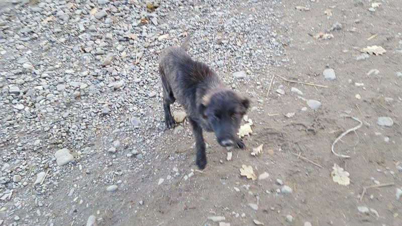 BAGHERA - chiot mâle croisé de taille moyenne, né env mars 2016 - REMEMBER ME LAND - décédé Receiv36
