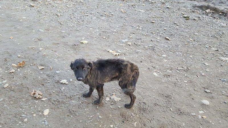 BAGHERA - chiot mâle croisé de taille moyenne, né env mars 2016 - REMEMBER ME LAND - décédé Receiv38