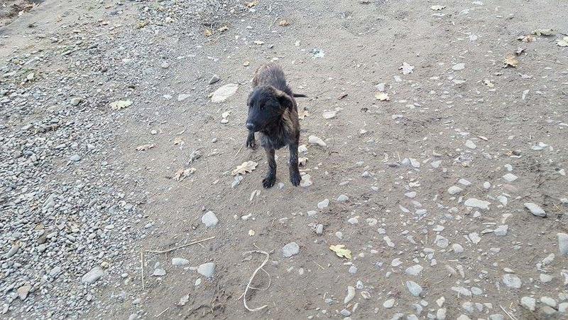 BAGHERA - chiot mâle croisé de taille moyenne, né env mars 2016 - REMEMBER ME LAND - décédé Receiv39