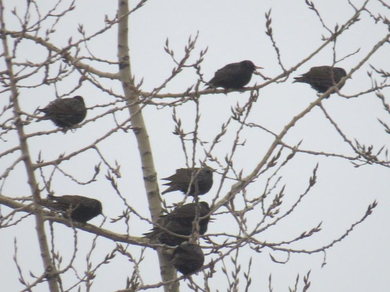 Centaines d'oiseaux Img_4910