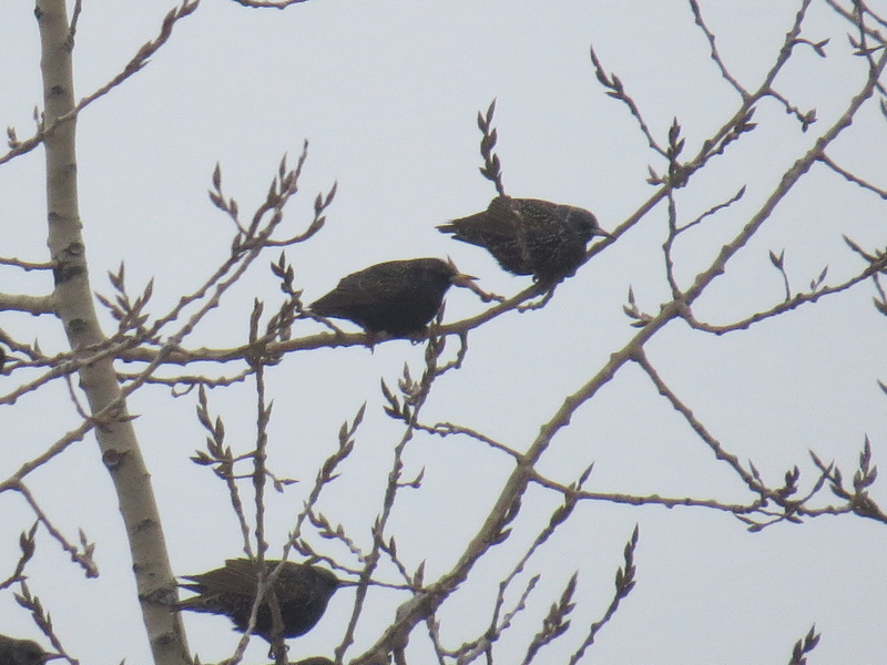 Centaines d'oiseaux Img_4911