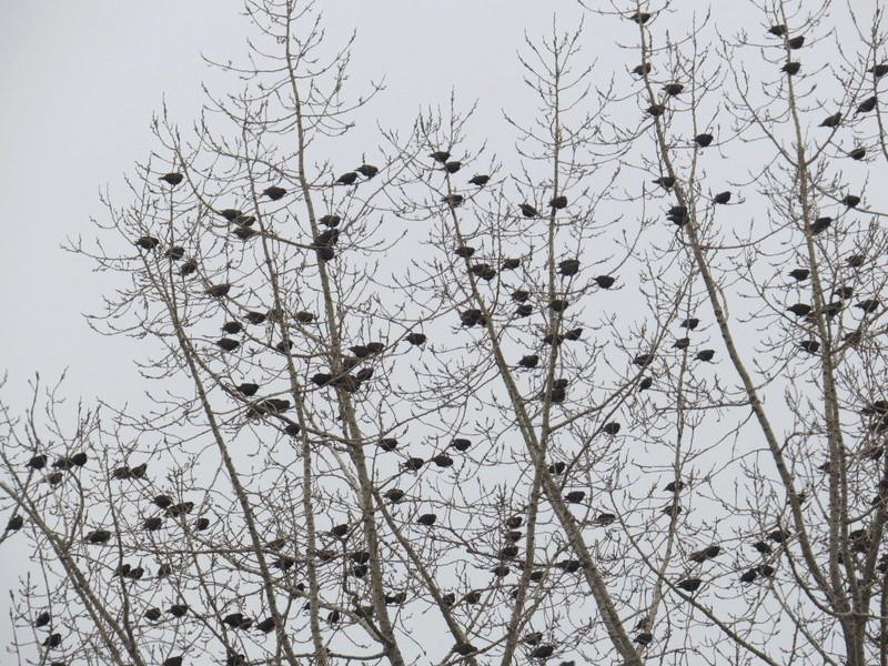 Centaines d'oiseaux Img_4912