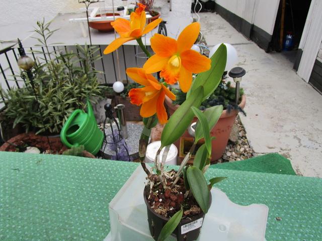 Cattleya vom OBI Img_0720