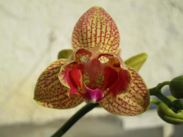 2 Hybriden: Propetalum ? x Zygopetalum(pelorische Form) und Phalaenopsis(pelorische Form) x Phalaenopsis ? Img_0829