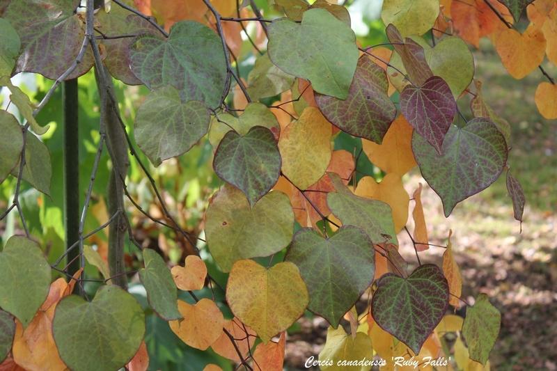 feuillages d'automne 2016 Cercis10
